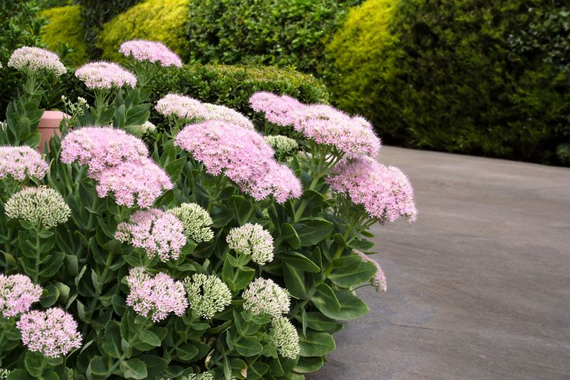 Pink 'Autumn Joy' sedum flowers blooming in next to a driveway.