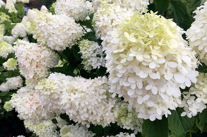 A large bush of 'Limelight' Hydrangeas that have a cone shape with white flowers at the base of the cone and lime green buds at the top.