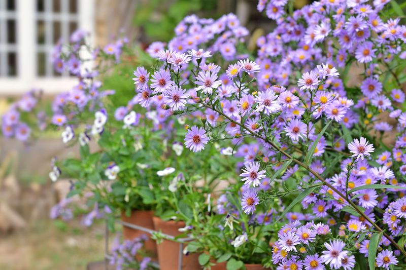 Purple Aster flowers in full bloom in front of an out of focus house.