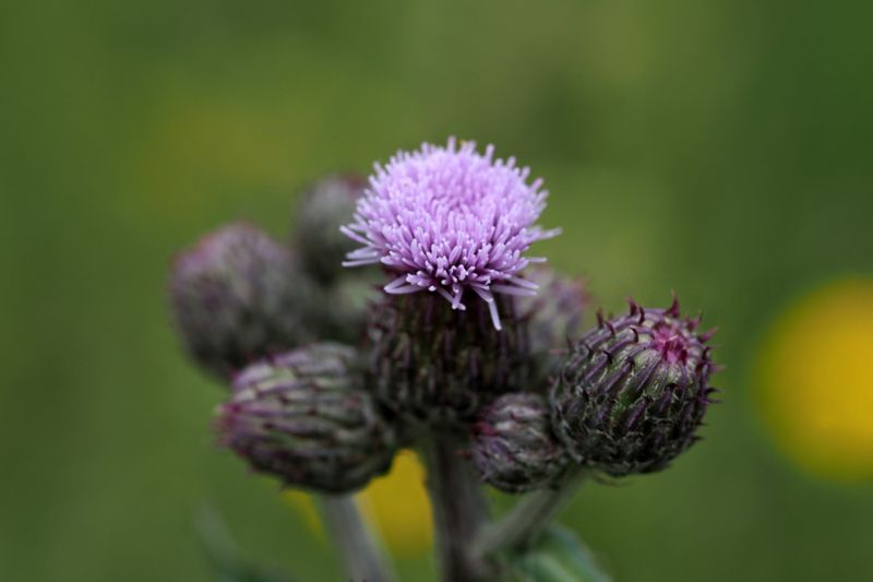 Thistle cardoon flower close up macro isolated on green.