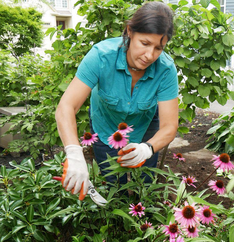 Fall 2021 Landscaping, Fall prep, Jenn Nawada trims back a thick strand of coneflowers