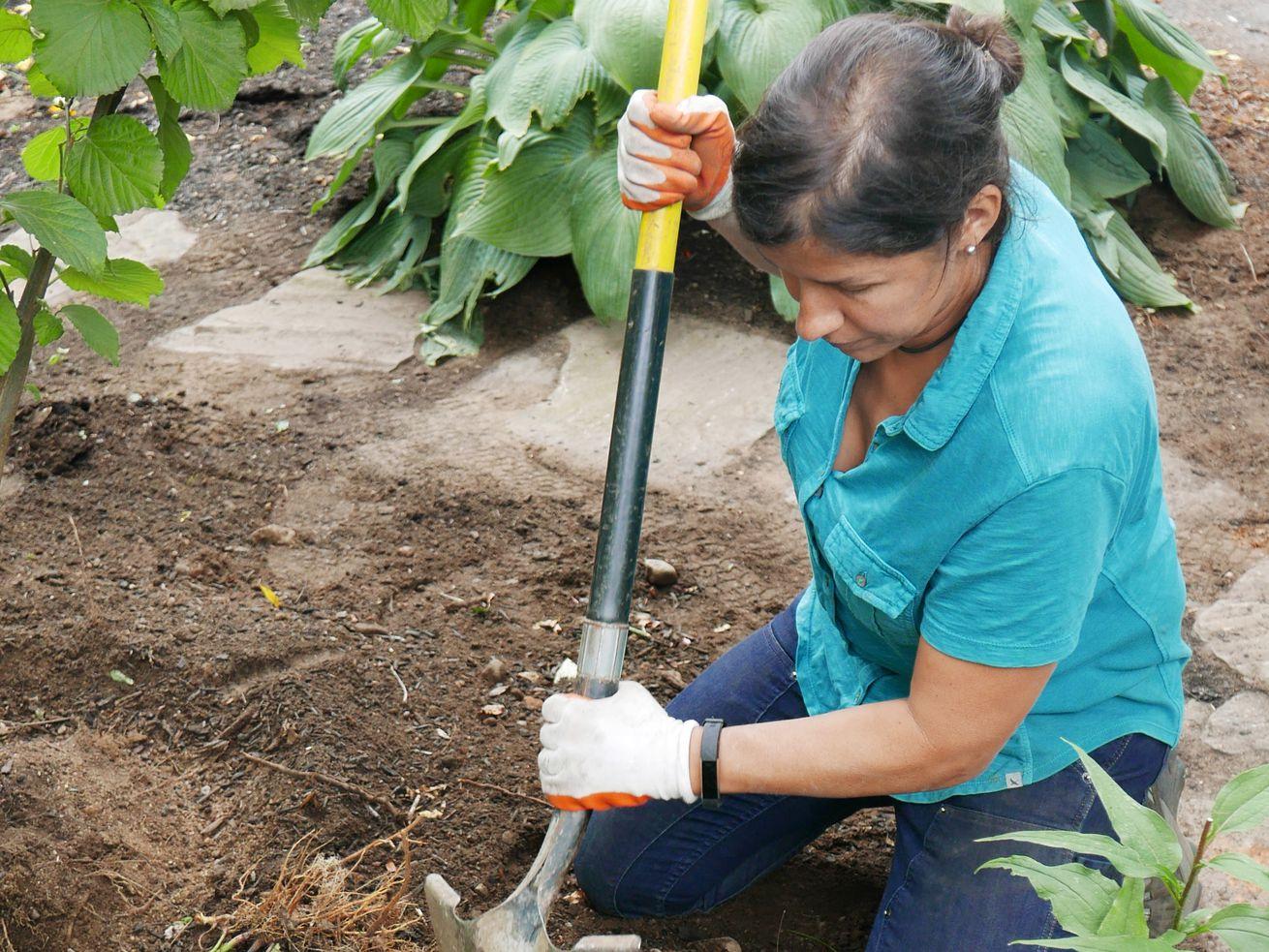 Fall 2021 Landscaping, Fall prep, Jenn Nawada digs a hole for coneflower transplants